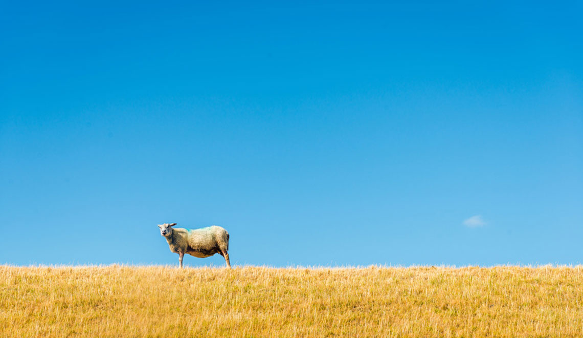 Lone sheep in cornfield